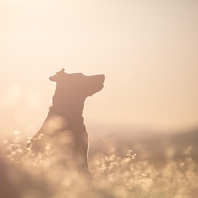 Brown Short Dog